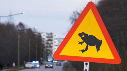 Cruce de ranas y sapos en Estonia