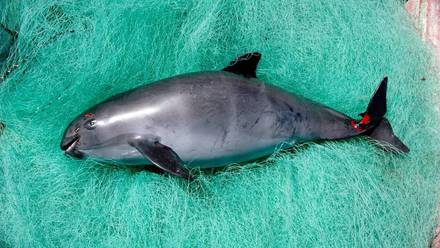 Vaquita marina muerta.