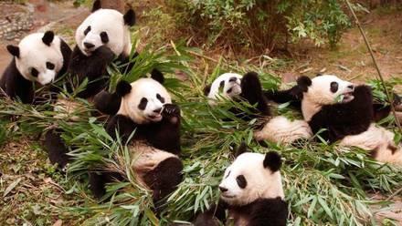 Pandas en Base de Investigación Chengdu de Crianza de Pandas Gigantes