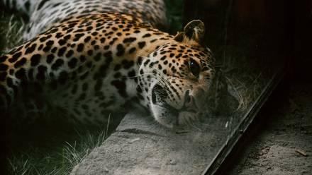 Cazadores le arrancan dientes y patas a leopardo para después tirarlo al río