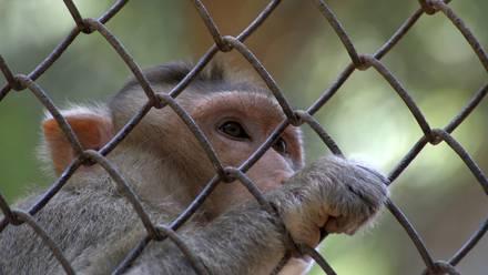Los monos rhesus fueron infectados con MERS-CoV, cepa del coronavirus