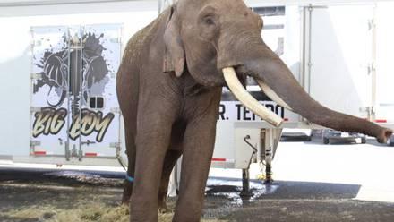 Big-Boy elefante