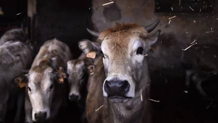 Vacas de ganado
