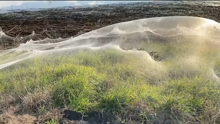 Telarañas cubren ciudades de Australia