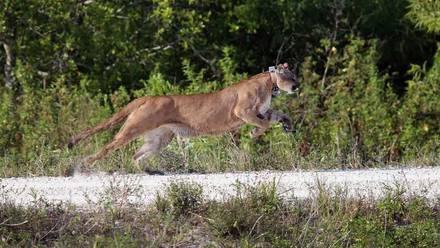 Puma en cautiverio
