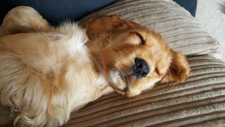 Busca a su perro por días; estaba abajo del sillón