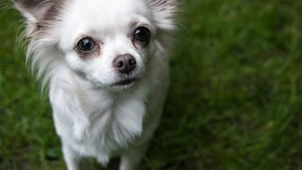 Un perro chihuahua enfrenta juicio en Reino Unido por morder a una mujer