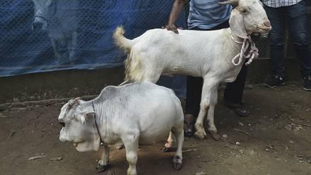Reni, la vaca más pequeña del mundo
