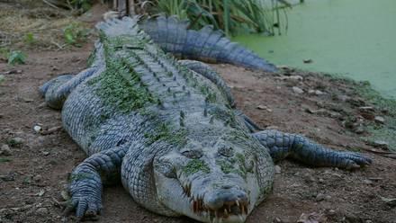 Un cocodrilo devoró a un hombre quien rompió la cuarentena