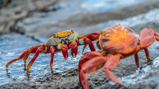 """Encuentran fósil de cangrejo de hace 310 millones de años con el """"cerebro intacto"""""""