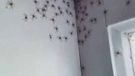 Arañas invaden recámara en Australia