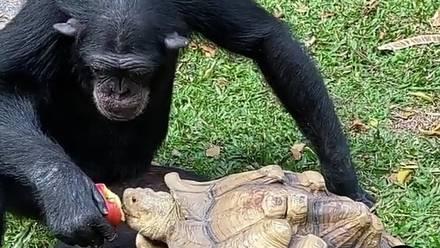 Chimpancé y tortuga comparten manzana