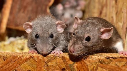 Las ratas pueden aprender a jugar a las escondidas.