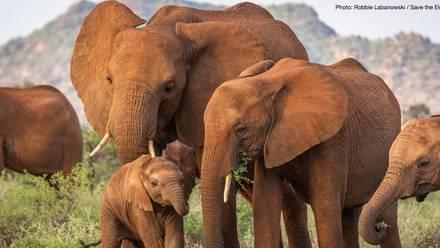 Elefantes de la selva africanos